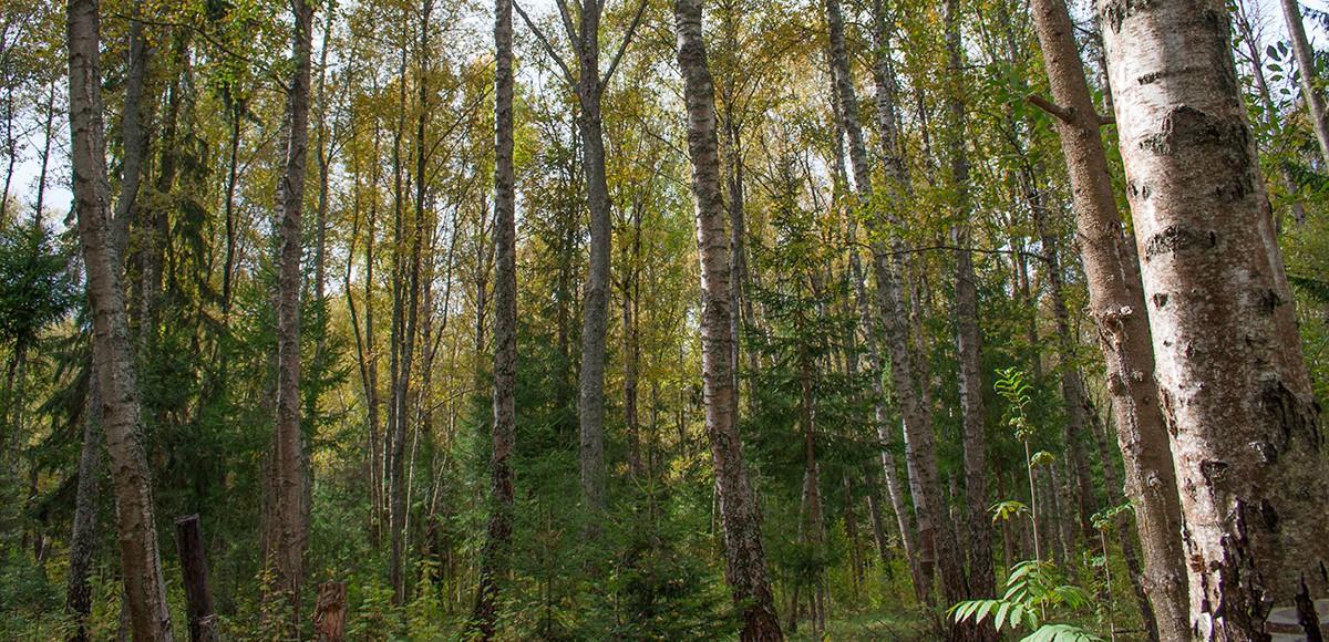 Настоящий лес за забором поселка Гринфилд